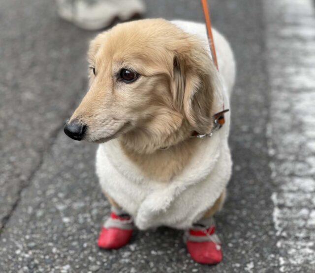 犬用靴下はじめての方へ、脱げにくい靴下をおすすめします!
